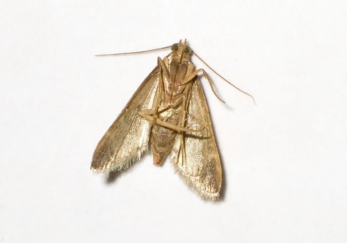 Clothes-moth